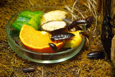 cockroach at riga zoo karlis dambrans